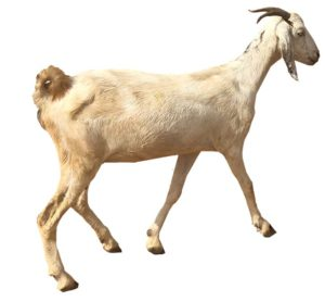African GOAT cut out